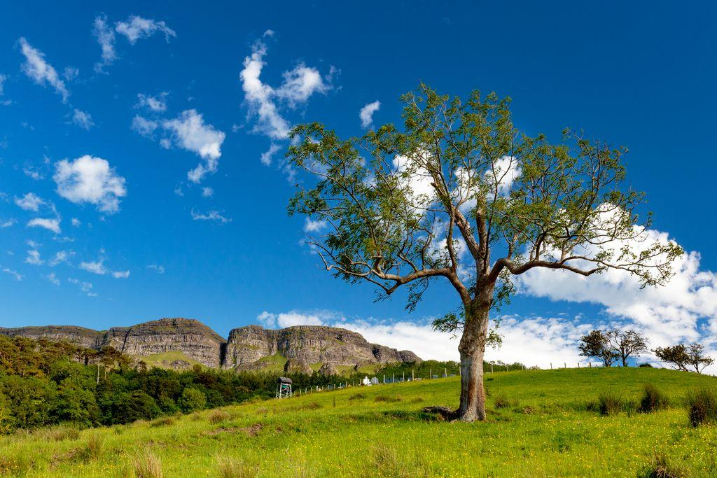 Medium Benevenagh Tree